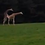 Giraffe kippt beim Sex um