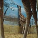 Giraffen verarschen