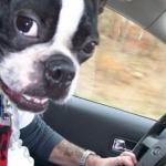 Hund am Steuer