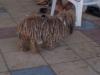 Hund im Afro-Look -› Hits (13890)