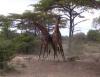 K�mpfende Giraffen