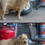 Löwenfrisur für Hunde