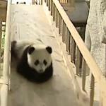 Pandas beim Rutschen -› Hits (1328)